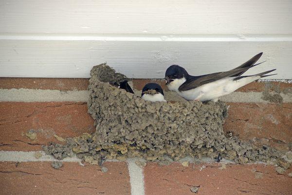 Mehlschwalben-Nest