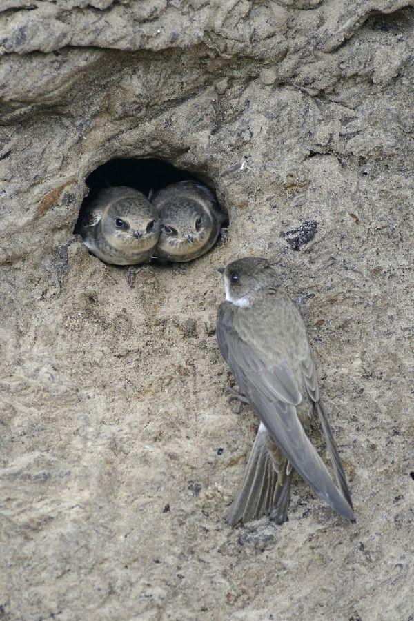 Uferschwalben-Nest