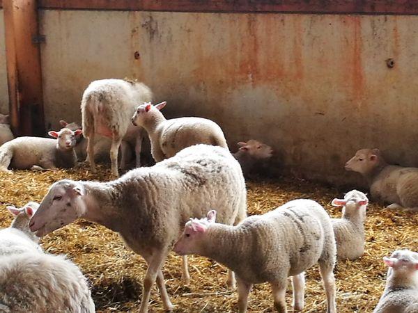 Schafe mit ihren Lämmern im Stall der Schäferei Emstal in Lathen